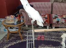 طائر البوكاتو