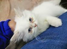 قط شيرازي عيون زرقاء