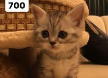 قطط شانيلا وشيرازيه