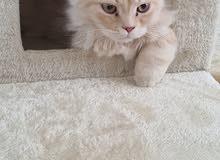 قطط تركية للبيع