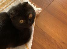 قطه سكوتش