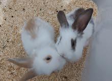 Cute Holland pair Rabbits