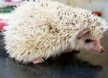 قنفذ - قنافذ افريقيه hedgehog