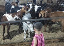 I have 100 goats