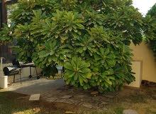 Frangipani Tropical Tree