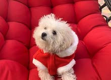 Searching for a female Shih Tzu for mating in UAE