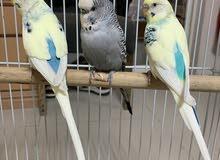 خمس طيور حب