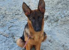 4+ month old German Shepherd for sale