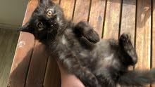 قطه انثى شيرازي مكس تركي 3 اشهر بسعر 250 درهم
