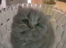 قطط مستوى عالي للبيع