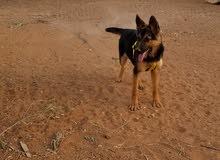 كلب جرمن وركلين  + كلب بندوق هاسكي