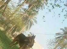 كلب جيرمن لونج هير ضخم  اذان 11كف عريض عمر ينتين