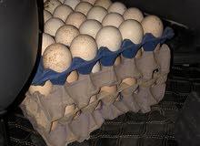 بيض دجاج محلي ع فرنسي