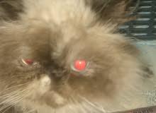 قطة همالايا بيكي فيس