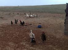 يوجد لدينا للبيع بط وأوز ودجاج مضمون 100%