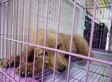 كلب جولدن 3 شهور للبيع