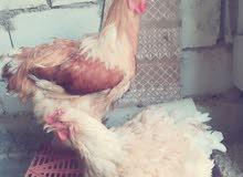 دجاج براهمه