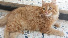 قطط للبيع فارسيه الوحده  100