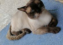 قطوس سيامي