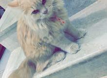 قطه شيرازي فاخره للبيع