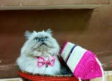قطة  منتجة  للبيع مستوى جميل