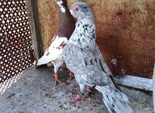 فحلين طيور حمام للبيع