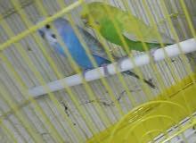 للبيع طيور حب بادجي جوز لون مميز
