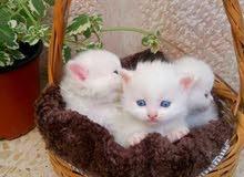 قطة شيرازي للبيع.. عمرها شهر..الأم شيرازي...الأب هملايا شوكلت أفطس