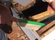 عسل الصنوبر الجبلي الطبيعي مئة بالمئة ..