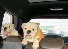 two English bulldogs with house
