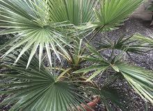 شجرة واشنطونيا حجم كبير