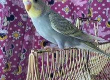 budgie babys, canary