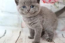 pure british short hair kitten by german breeder in dubai