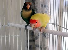 Big cage with African love parrot