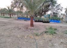 خدمات زراعة النخل والتكريب وخلع الفروخ