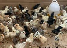 للبيع كتاكيت  Chicks for sale