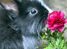 ارانب انكور