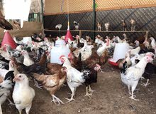 دجاج محلي للحم (تهجين فرنسي)