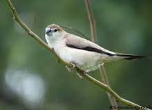 Indian silver bill for sale