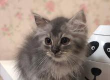 قطة انثى العمر شهرين
