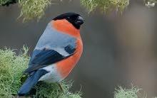 مطلوب طيور البول فينيش