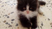 قطةللببع 200من الاخير