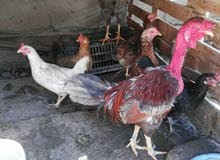 دجاجات العدد 5 +ديوجه 2  شرط البيض والديوجه شرط التلقيح