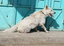 كلب جيرما ابيض كبير هيبة بسعر عرطة