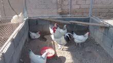 (السعر الافضل) بيض دجاج فرنسي بيور