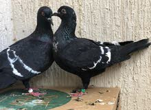 STARLING PIGEON