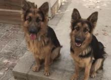 two adult long haired pure German shepherds