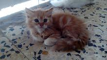 قطة للبيع 250قابل النقاش