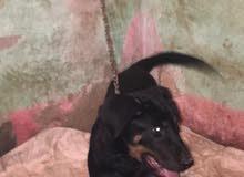 كلب عمر 4ونص مطعم ديدان وحشرات مدرب ع الحمام وطاعة وشراسة رود وايلر الماني