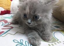 قطه شيرازي بتحب اللعب جدا وعمره شهرين